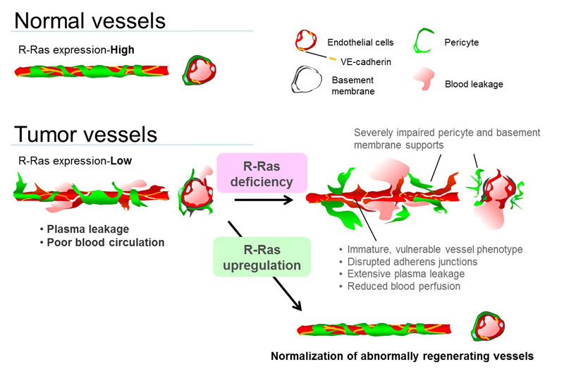 Regulation of tumor vessels by R-Ras
