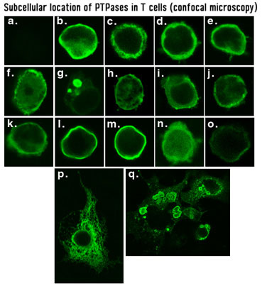 Subcellular Location of PTPases in T cells