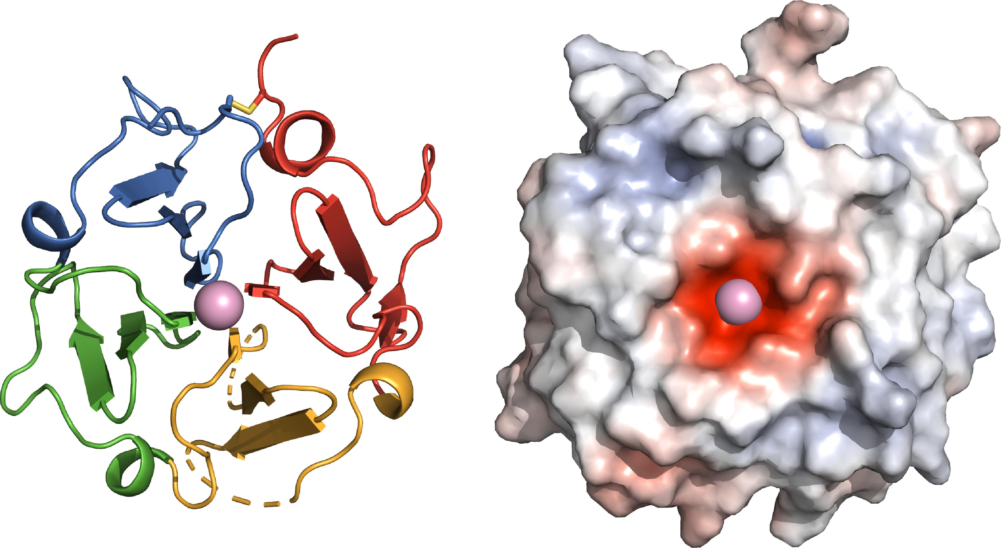 Left: The functional site of Vitronectin is shaped as a four-bladed propeller, yielding new insights into its function in the body.​​​ Right: A negatively charged center (red) allows Vitronectin to clasp a positively charged calcium atom. ©SBP