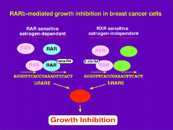 RARb-mediated Growth Inhibition in Breast Cancer Cells