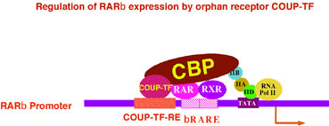 Regulation of RARb Expression by Orphan Receptor COUP-TF